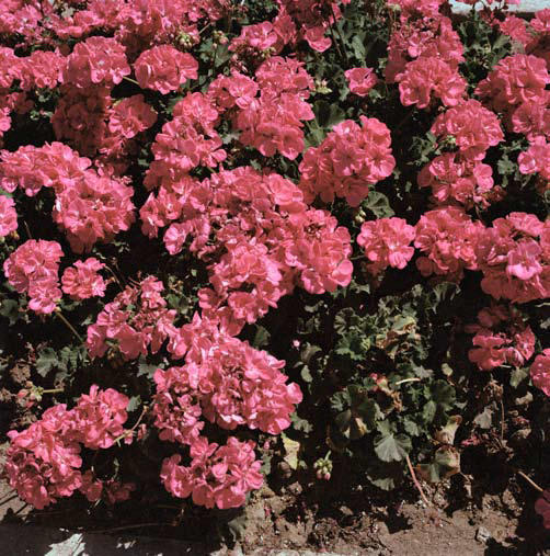_Pink geraniums_, Planted before official city visit on Boulevard de Paris, Tangier 2007. Courtesy Galerie Polaris