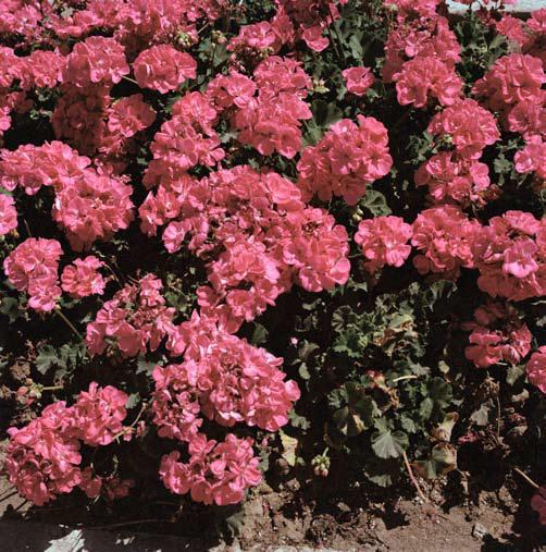 _Pink geraniums_, Planted before official city visit on Boulevard de Paris, Tangier 2007. Courtesy Galerie Polaris
